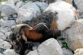 Los animalistas, en contra de declarar BIC el hecho de ir a buscar cabras a es Vedrà