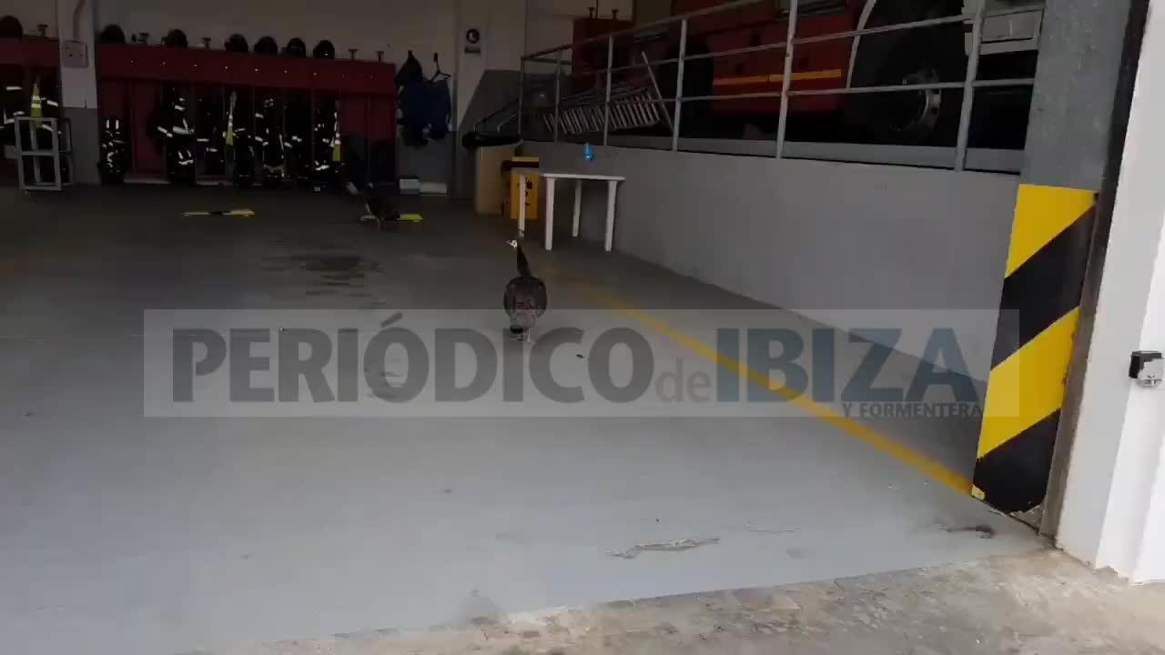 Tres pavos reales se cuelan en el Parque de Bomberos de Ibiza