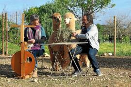 Dos alpacas cien por cien ibicencas, en diciembre