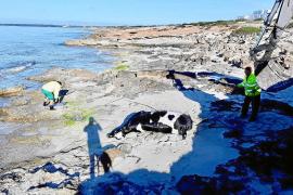 Retiran los restos de una vaca llegada a costas de Migjorn