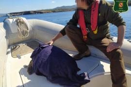 Rescatada una tortuga boba en la isla de Ibiza