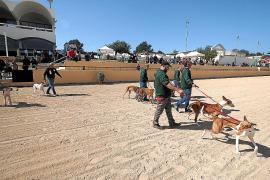 Grupos de podencos ibicencos realizan una exhibición en el Hipódromo de Sant Rafel