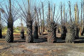 Las llamas calcinan 7.500 m² de un vivero de palmeras en Platja d'en Bossa