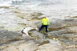 Retiran una vaca muerta llegada a las costas de Formentera, la tercera en un mes