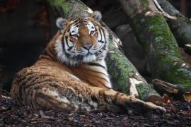 Da positivo por coronavirus un tigre del zoo del Bronx de Nueva York