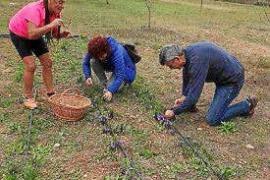 Cultivo del azafrán en Mallorca