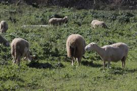 El Consell d'Eivissa ofrece ayudas para el sector rural y ganadero