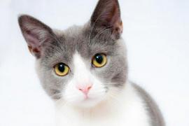 Un proyecto piloto de investigación ha detectado un gato asintomático y sano infectado por coronavirus SARS-CoV-2.