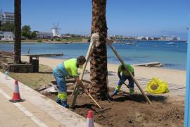El Ayuntamiento de Sant Antoni inicia una campaña de reposición del arbolado