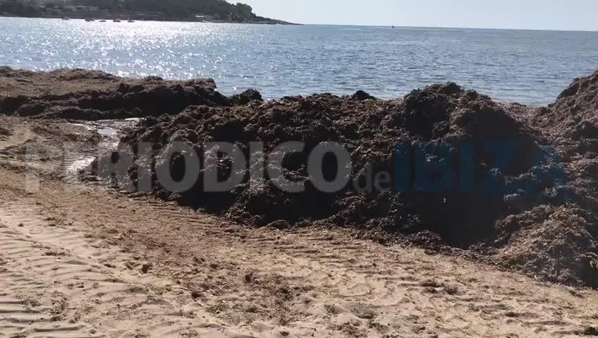 Retirada de posidonia en la playa de Talamanca
