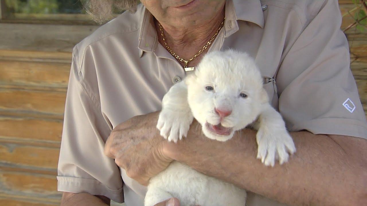 Nace por primera vez en España un león blanco en un zoo