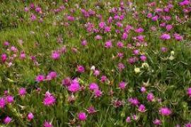 El GEN denuncia una planta invasora en Cala Salada