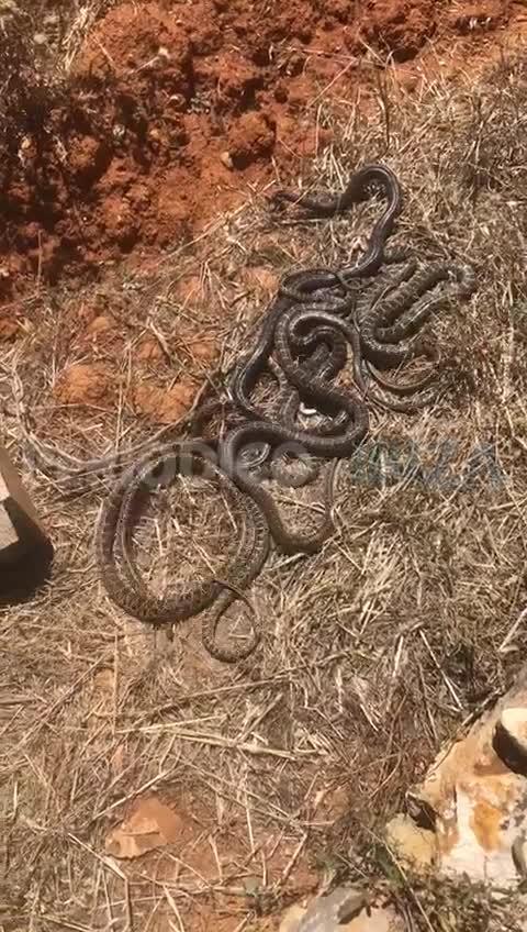 Capturan ocho grandes serpientes en una finca de Sant Llorenç