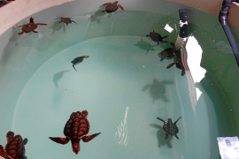 Las 18 tortugas nacidas en Ibiza el verano pasado evolucionan bien en Valencia
