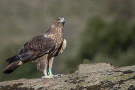 Mejora la evolución de las poblaciones de rapaces protegidas en las Islas Baleares