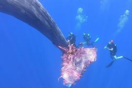 La lucha para liberar a una ballena de una red de pesca