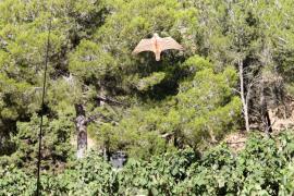El Consell de Ibiza amplía el plazo de caza de la paloma torcaz por los daños agrícolas