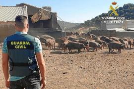 Cinco detenidos en Ibiza y Valencia por una ciberestafa en la venta de 140 cerdos ibéricos