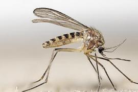 Esta es la especie de mosquito que transmite el virus del Nilo en Andalucía