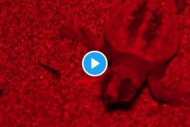 Nace la primera tortuga marina documentada en una playa de Baleares