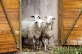 La continuidad de la ganadería de Ibiza peligra a medio plazo