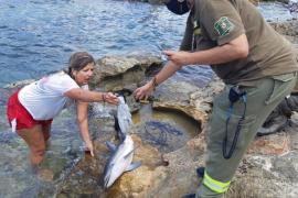 Recuperan muerta una cría de delfín que llegó a la playa de Caló des Moro