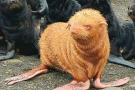 Descubren a una rara foca pelirroja en Rusia