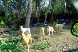 Capturados seis perros semisalvajes