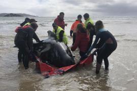 Mueren cerca de 380 ballenas piloto tras quedar varadas en las costas de Tasmania