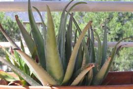 Cómo cuidar las plantas suculentas con estos sencillos pasos