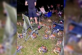 Una familia vive una 'invasión' de más de 50 cangrejos carnívoros