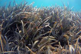 Un total de 11 proyectos optan a lograr financiación del concurso 'Save Posidonia Project' de Formentera