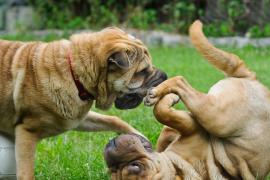 Consejos para sumar con éxito un segundo perro a la familia