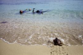 Las mejores imágenes de la primera liberación de tortugas en Ses Salines. (Fotos: Daniel Espinosa)
