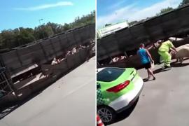 Vuelca un camión con cerdos y la gente comienza a robarlos e incluso matarlos