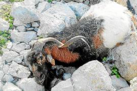 El Consell d'Eivissa califica de «desleal» la actuación del Govern con las cabras de es Vedrà