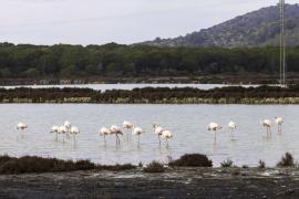 El número de flamencos contabilizados en el Parque Natural de Ses Salines es el más alto desde que hay registros
