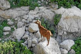 El Govern indigna a asociaciones animalistas y 'vedraners' tras matar sin avisar las cabras de Es Vedrà