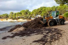 La campaña de retorno devolverá 2.000 m³ de posidonia y arena a las playas de Santa Eulària