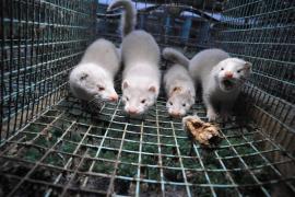 Dinamarca matará a sus visones al hallar una mutación del coronavirus que puede infectar a humanos