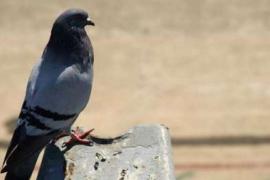 New Kim se convierte en la paloma más cara del mundo: 1.310.000 euros
