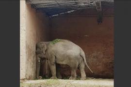 Frank Sinatra consigue animar a Kaavan, el elefante más triste del mundo
