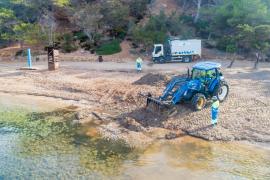 Sant Antoni inicia el retorno de los restos de posidonia a las playas del municipio