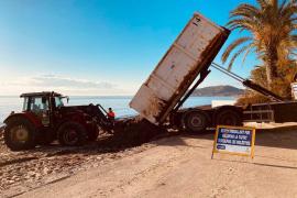 Vila devuelve a las playas la posidonia retirada durante el verano
