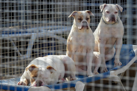 Aumentan las adopciones de perros durante la pandemia en Ibiza