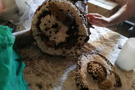 Baleares se convierte en el primer territorio europeo que consigue erradicar la avispa asiática