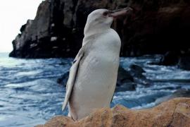 Encuentran el pingüino más extraño del planeta