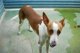 Vila recibirá cinco perros para evitar que sean sacrificados en el centro canino de  Formentera