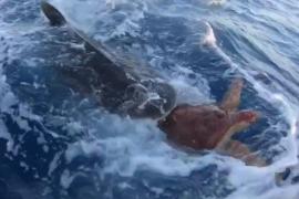 Unos pescadores salvan a una tortuga de ser devorada por un tiburón