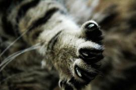 Por qué debemos vigilar las uñas de los gatos y cómo cortarlas correctamente